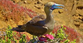 Galapagos red booby