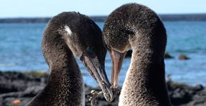 Galapagos flightless cormorants