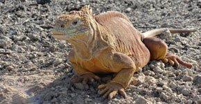 santa-fe-land-iguana