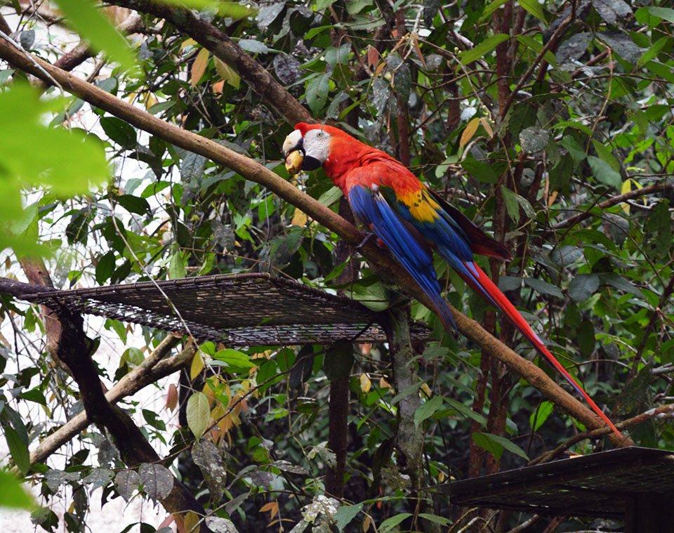 Scarlet Macaw | Amazon, Ecuador
